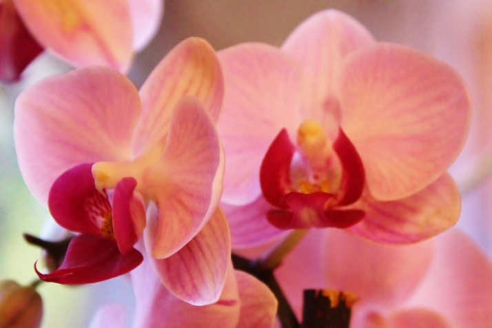 Linda's Orchid